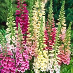 Sarkanā uzpirkstīte - Gloxiniaeflora - mix - 9000 sēklas - Digitalis purpurea