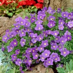 Pohár Semena květin - Nierembergia hippomanica - 650 semen - Nierembergia caerulea, syn. N. hippomanica