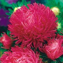 "Needle-petal aster ""Inga"" - pink-red, tall variety - 450 seeds"