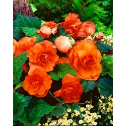 Begonia Large Flowered Double Orange - 2 bulbs