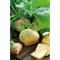 Rutabaga Saba seeds - Brassica napus l. var. napobrassica - 3500 seeds