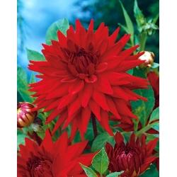 Dahlia Cactus Red - bebawang / umbi / akar