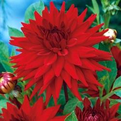 Dahlia Cactus Red - čebulica / gomolj / koren