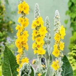 Giant Silver Mullein, Turkish Mullein seeds - Verbascum bombyciferum - 4000 seeds