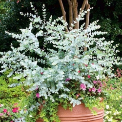 Eucalipto blanco - 10 semillas - Eucalyptus globulus