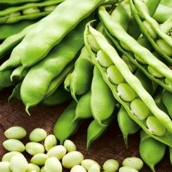 """Bean """"Coco Nain Blanc Précoce"""" - white, round seeds"""
