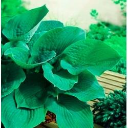 Hosta, Plantain Lily Elegans