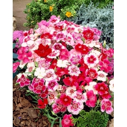 "Rainbow pink ""Hedwiga Baby Doll"" - variety mix; China pink - 990 seeds"