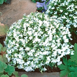 Lobelia Riviera Beyaz tohumlar - Lobelia erinus - 3200 tohumlar