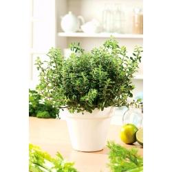 Home Garden - marjoram - for indoor and balcony cultivation
