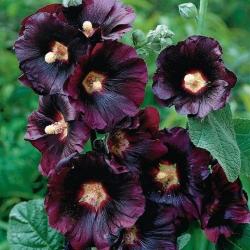 Melnās Hollyhock sēklas - Althaea rosea var. nigra - 35 sēklas - Alcea rosea var. Nigra