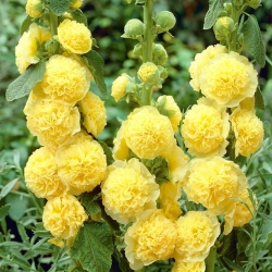 Hollyhock Chater's Double Yellow seeds - Althaea rosea fl. pl. - 50 seeds