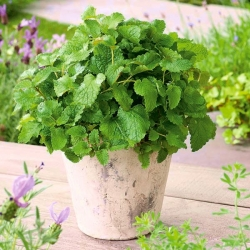 "Lemon balm ""Limonella"" - aromatic novelty! - 1000 seeds"