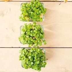 """Microgreens - Lemon basil """"Mrs Burns"""" - daun muda dengan rasa luar biasa - biji 1950 - Ocimum citriodorum"""