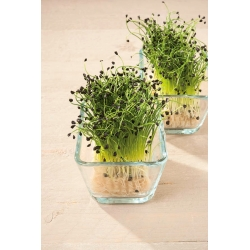 Microgreens - Bawang musim sejuk - daun muda dengan rasa yang luar biasa - Allium fistulosum  - benih
