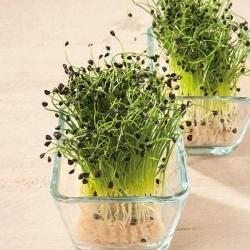 Microgreens - Bawang musim dingin - daun muda dengan rasa yang luar biasa - Allium fistulosum  - biji