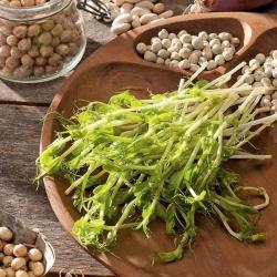 """Microgreens - Pea """"Boogie"""" - daun muda dengan rasa yang luar biasa - Pisum sativum - biji"""