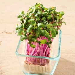 Microgreens - Col repollo - Haco - roj - 1080 semillas - Brassica oleracea,convar. capitata,var. rubra.