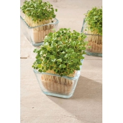 Microgreens - Rocket, arugula - young leaves with exceptional taste - 620 seeds