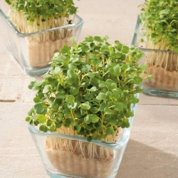 Microgreens - Roket, arugula - daun muda dengan rasa luar biasa - 800 biji - Eruca vesicaria