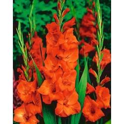 Gladiolas oranžs - XXL - 5 gab. Iepakojums - Gladiolus