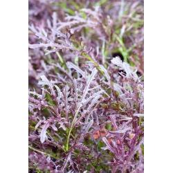 Punane mizuna, kyona, Jaapani sinep - 1500 seemnet - Brassica rapa var. Japonica - seemned