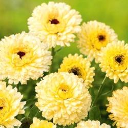 Botón de oro - Cream Beauty - 240 semillas - Calendula officinalis