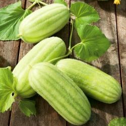 "Armenian cucumber ""Carosello Barese"" - 40 seeds"
