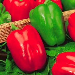 "Pepper ""Yolo Wonder"" - sweet, red variety - 72 seeds"