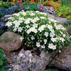 Horská semena písečná - Arenaria montana - 75 semen