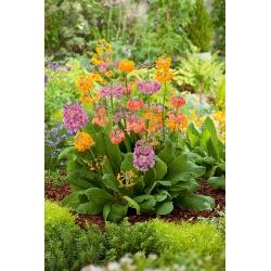 Candelabra Primrose vegyes magok - Primula candelabra hybr. - 60 mag - Primula praetinens