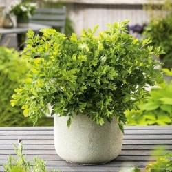 Mini vrt - listni peteršilj z gladkimi listi - za kulturne terase in balkone - Petroselinum crispum  - semena