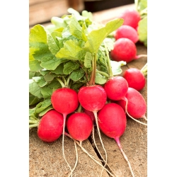 "Radish ""Carmen"" - 100 g of seeds - 8500 seeds"