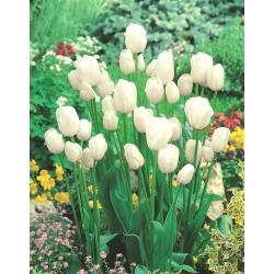 Tulipa White Bouquet - Tulip White Bouquet - 5 lampu