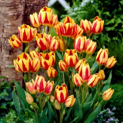 Tulipa Color Spectacle - Tulip Color Spectacle - 5 bulbs - Tulipa Colour Spectacle