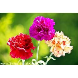"Carnation ""Grenadin"" - variety mix; clove pink - 248 seeds"