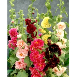 """Hollyhock """"Chatters"""" - variety mix - 90 seeds"""