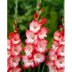 Gladiolas Pink Lady - 5 gab. Iepakojums - Gladiolus Pink Lady