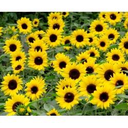 Harilik päevalill - Bambino - Helianthus annuus - seemned