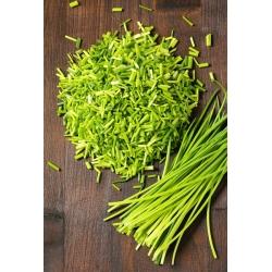 Chives 'Prazska' seeds - Allium schoenoprasum - 1700 seeds
