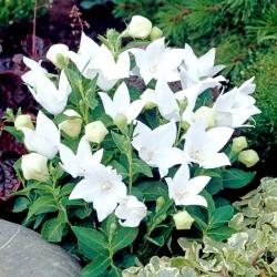 Platycodon, hoa bóng - Trắng; Hoa chuông -