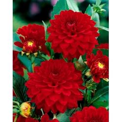 Dahlia Red - bebawang / umbi / akar