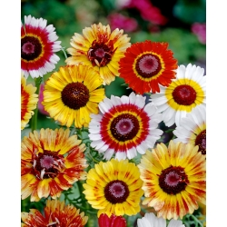 """Tricolour chrysanthemum """"Frohe Mischung"""" - variety mix; tricolor daisy, annual chrysanthemum"""