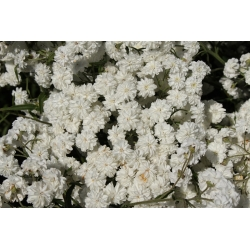 Achillea ptarmica - 470 semillas