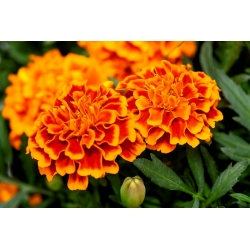 """French marigold """"Giant Bicolour"""" - mahogany-red with gold rim - 158 seeds"""