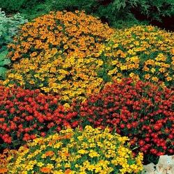 "Signet marigold ""Starfire"" - variety mix - 585 seeds"