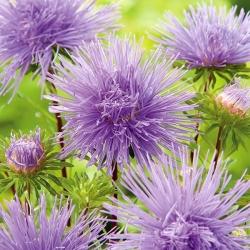 "Needle-petal aster ""Ela"" - violet-blue"