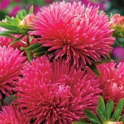 """Needle-petal aster """"Rosamunde"""" - pink - 225 seeds"""
