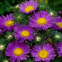 "Dwarf aster ""Pepite"" - purple"