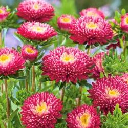 "Princess aster ""Tristan"" - crimson-cherry-red - 225 seeds"